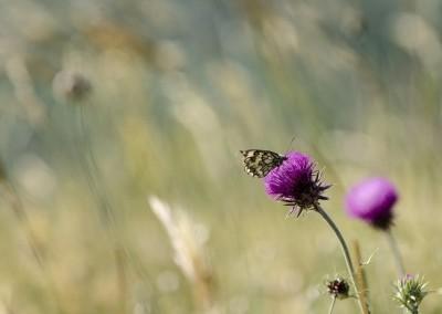 Gualdo Tadino - valsorda farfalla